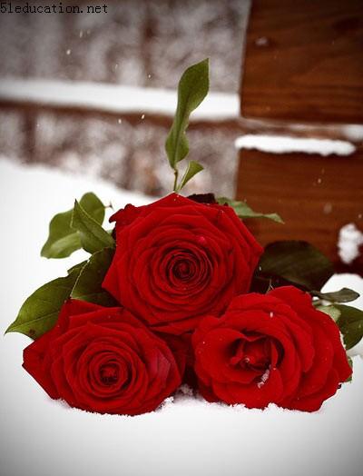 十二月的玫瑰